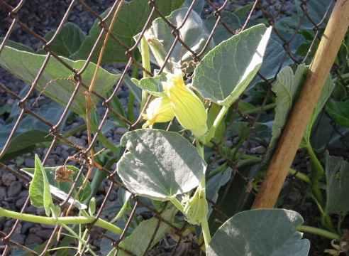 Wild coyote gourd flower