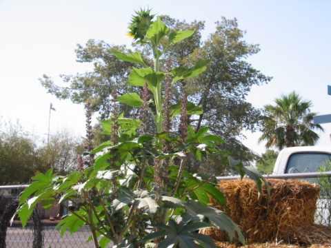 Native Southwest Sunflower