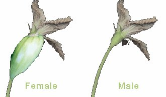 compare female and male upper stems