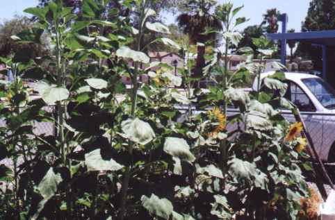 8 foot sunflowers