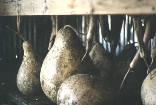 Gourd beauties